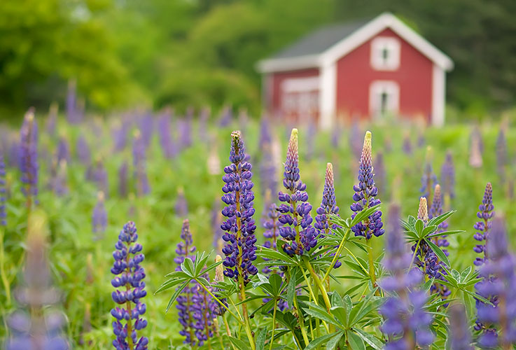 Image Guy Biechele-Country Lupines