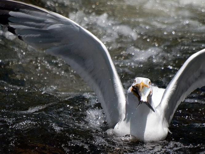 Image Biechele Seagull Catching Fish