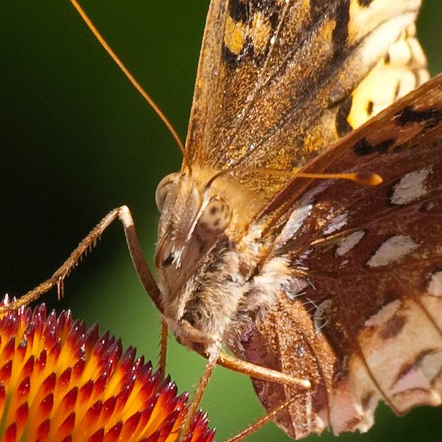Image Biechele Butterfly Macro