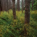 Red Pines and Hawkweed