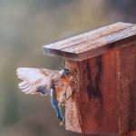 Notecard Bluebird-Rick Flematti