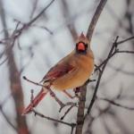Notecard Cardinal Female-Rick Flematti