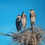 Notecard Herons-Rick Flematti