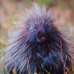Notecard Porcupine-Rick Flematti