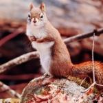 Notecard Red Squirrel-Rick Flematti